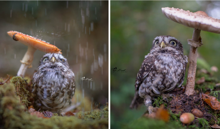 Photographer Captured The Image Of A Tiny Owl Hiding From Rain Under A Mushroom