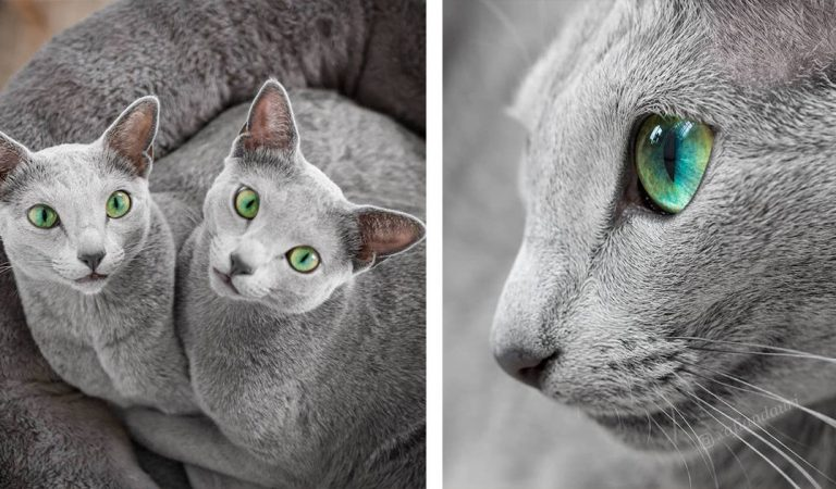 Russian Blue Cat Sisters Share Majestic Green Eyes And Silver Fur Coats